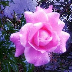 RosePink5